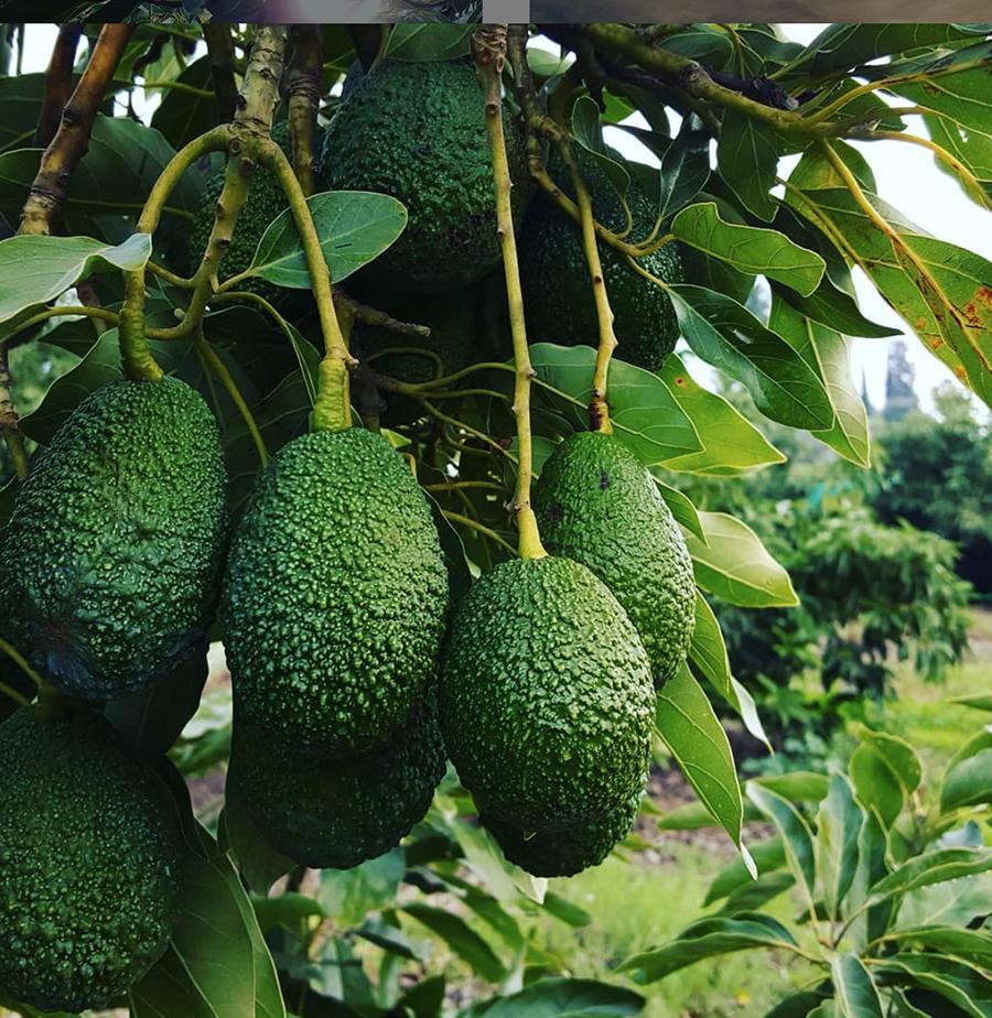 avocado-tour